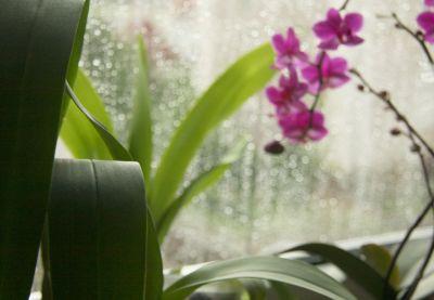 Oncidium mit Regentropfen