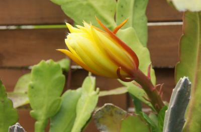Blattkaktus (Epiphyllum)