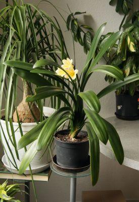 Gelbe Klivie (Clivia)