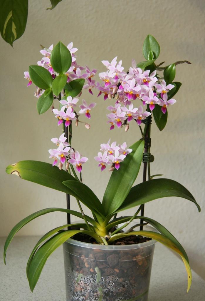 phalaenopsis equestris zeigt bl tenpower majas pflanzenblog. Black Bedroom Furniture Sets. Home Design Ideas