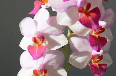 Doritaenopsis Liu's Berry
