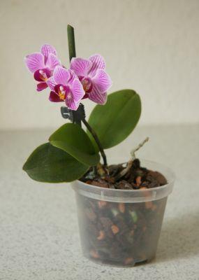 Mini-Phalaenopsis rosa