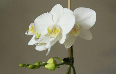 Phalaenopsis Hybride weiß