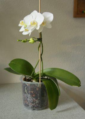 heiße polizistinnen die blühende orchidee
