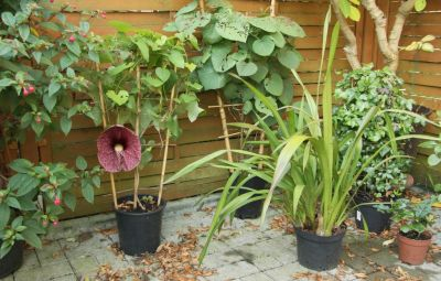 Gespensterpflanze (Aristolochia gigantea)