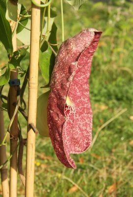 Gespensterpflanze (Aristolochia gigantea)