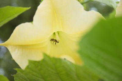 Biene in einer Engelstrompete
