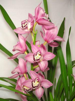 Cymbidium-Orchidee rosa