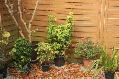 Gespensterpflanzen, Fuchsie und Cymbidium