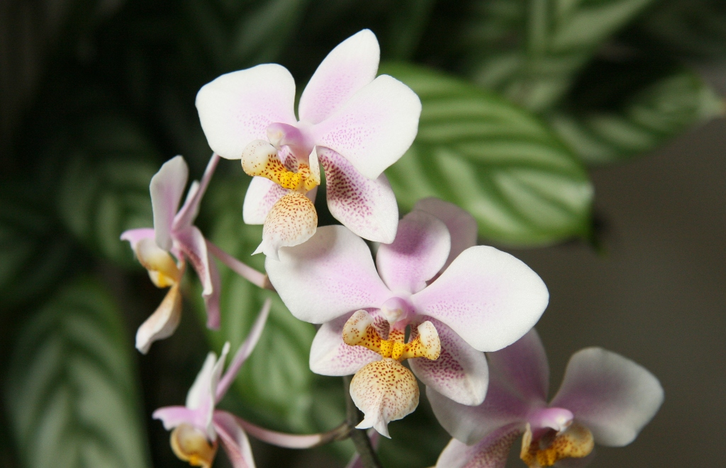phalaenopsis schilleriana x phal stuartiana majas pflanzenblog. Black Bedroom Furniture Sets. Home Design Ideas