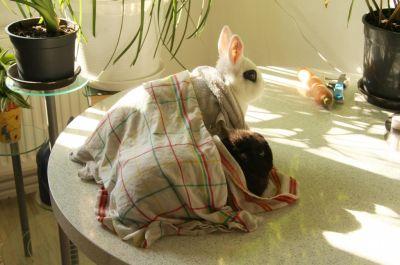 Abkühlung für Kaninchen mit Handtücher