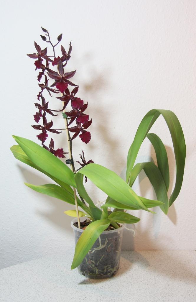 Colmanara massai mit bl tentrieb majas pflanzenblog - Pflegeleichte zimmerpflanzen mit bluten ...