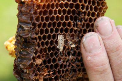 Wachsmotte auf Bienenwabe