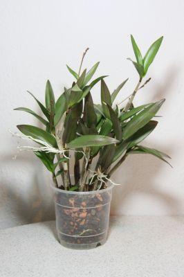 Dendrobium Hybride mit Knospen