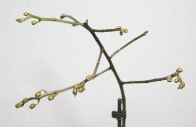 Phalaenopsis schilleriana x stuartiana