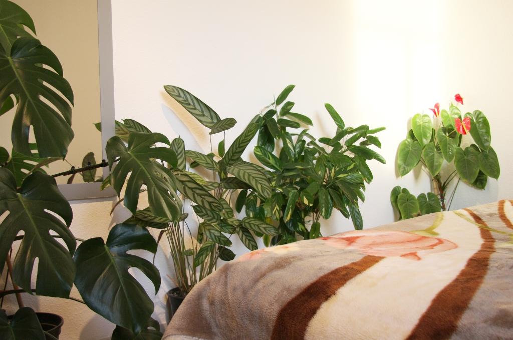 calatheas überwintern im schlafzimmer » majas pflanzenblog
