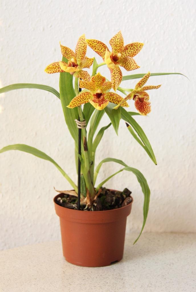 propetalum orchidee mit herrlich duftenden bl ten majas. Black Bedroom Furniture Sets. Home Design Ideas