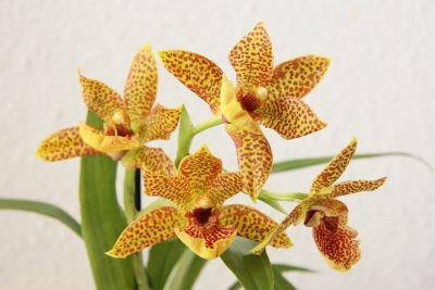 Propetalum Orchidee