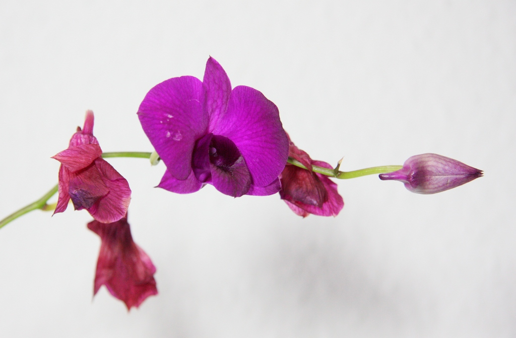 orchideen knospen vertrocknen fallen ab majas pflanzenblog. Black Bedroom Furniture Sets. Home Design Ideas