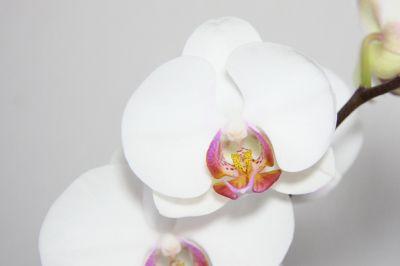Phalaenopsis Hybride weiß mit bunter Lippe