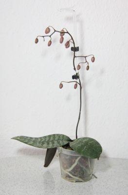 Phalaenopsis schilleriana Knospen