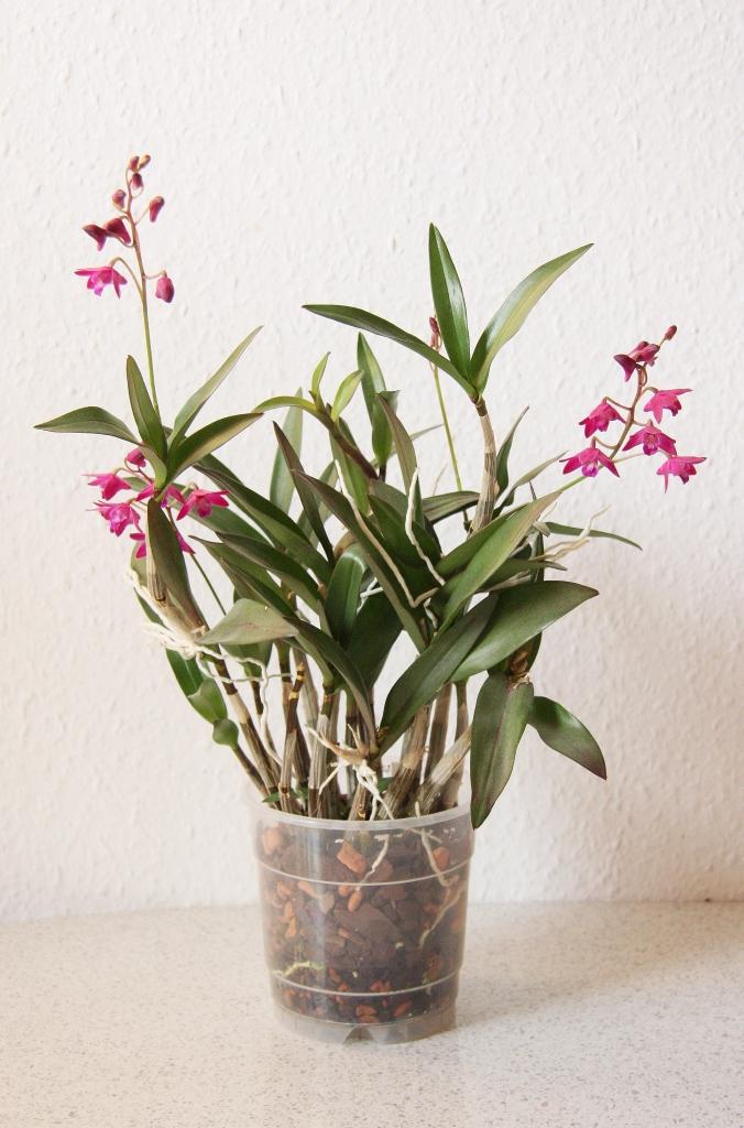 dendrobium hybride entpuppt sich als berry oda majas pflanzenblog. Black Bedroom Furniture Sets. Home Design Ideas