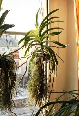 Vanda-Orchidee mit Abendsonne