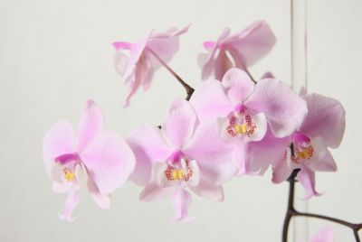 Phalaenopsis schilleriana Blüten