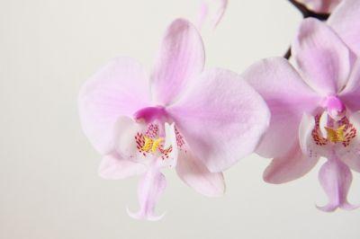 Phalaenopsis schilleriana Blüte