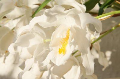 Coelogyne cristata Blüte