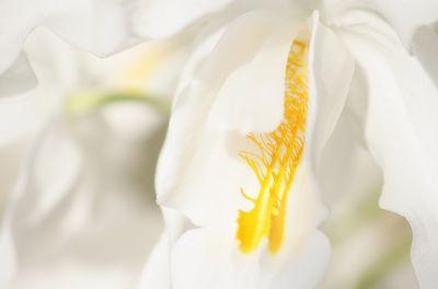 Coelogyne cristata Details
