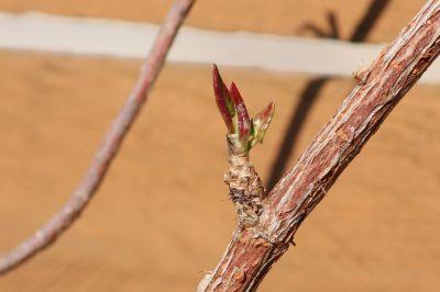 Schlingknöterich (Fallopia baldschuanica)