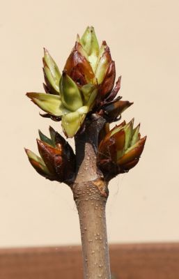 Rosskastanie (Aesculus)