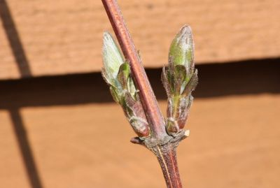 Clematis Hagley Hybride