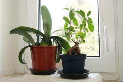 Elefantenohr & Ficus-Bonsai