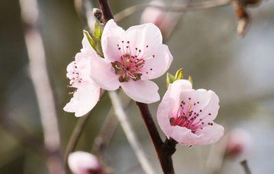 Erste Pfirsichblüten