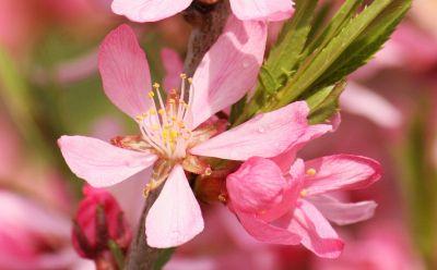 Zwerg-Mandel (Prunus tenella)