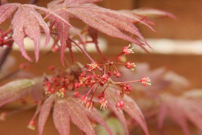Fächerahorn Blüten (Acer palmatum)
