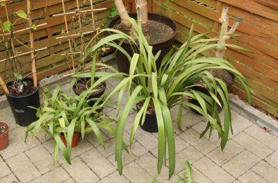 Coelogyne & Cymbidium-Orchidee