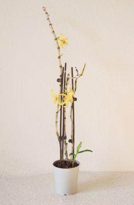 Dendrobium Stardust Hybride
