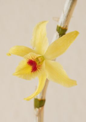 Dendrobium Stardust Hybride Blüte