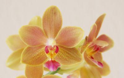 Phalaenopsis Tzu Chiang Balm Blüte