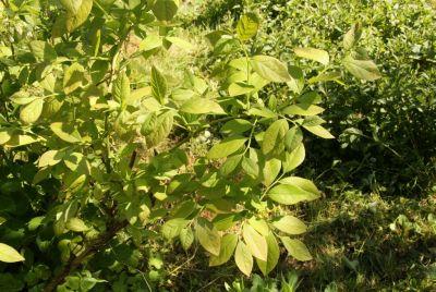 Heidelbeere (Vaccinium corymbosum)