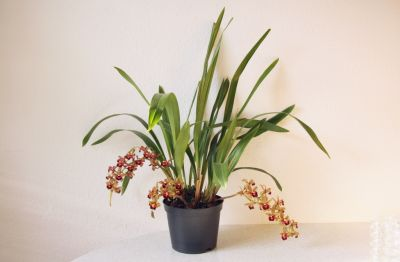 Cymbidium Fruity Forest