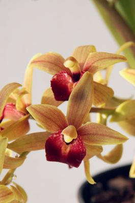 Cymbidium Fruity Forest Blüten