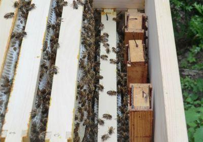 Nachschaffungszellen im Honigraum