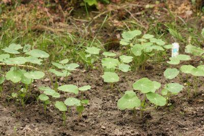 Kapuzinerkresse (Tropaeolum majus)