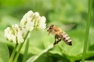 Bienen im Weißklee