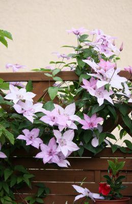 Waldrebe (Clematis) mit Blüten