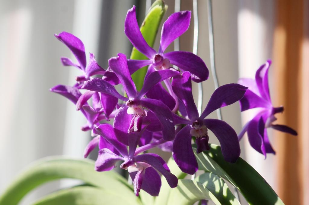 orchidee vanda pflege vanda orchidee pflege im topf und. Black Bedroom Furniture Sets. Home Design Ideas